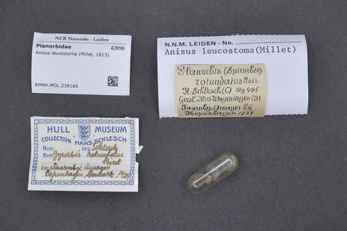 Anisus leucostoma image
