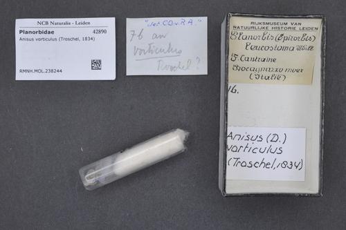 Anisus vorticulus image