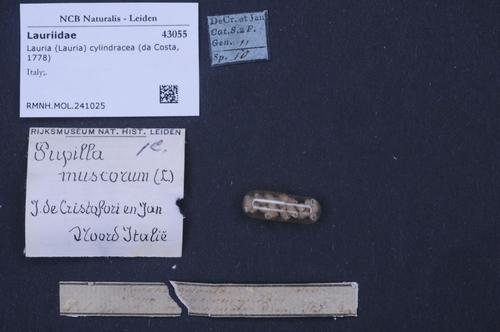 Lauria cylindracea image