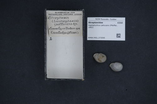 Haploptychius pellucens image