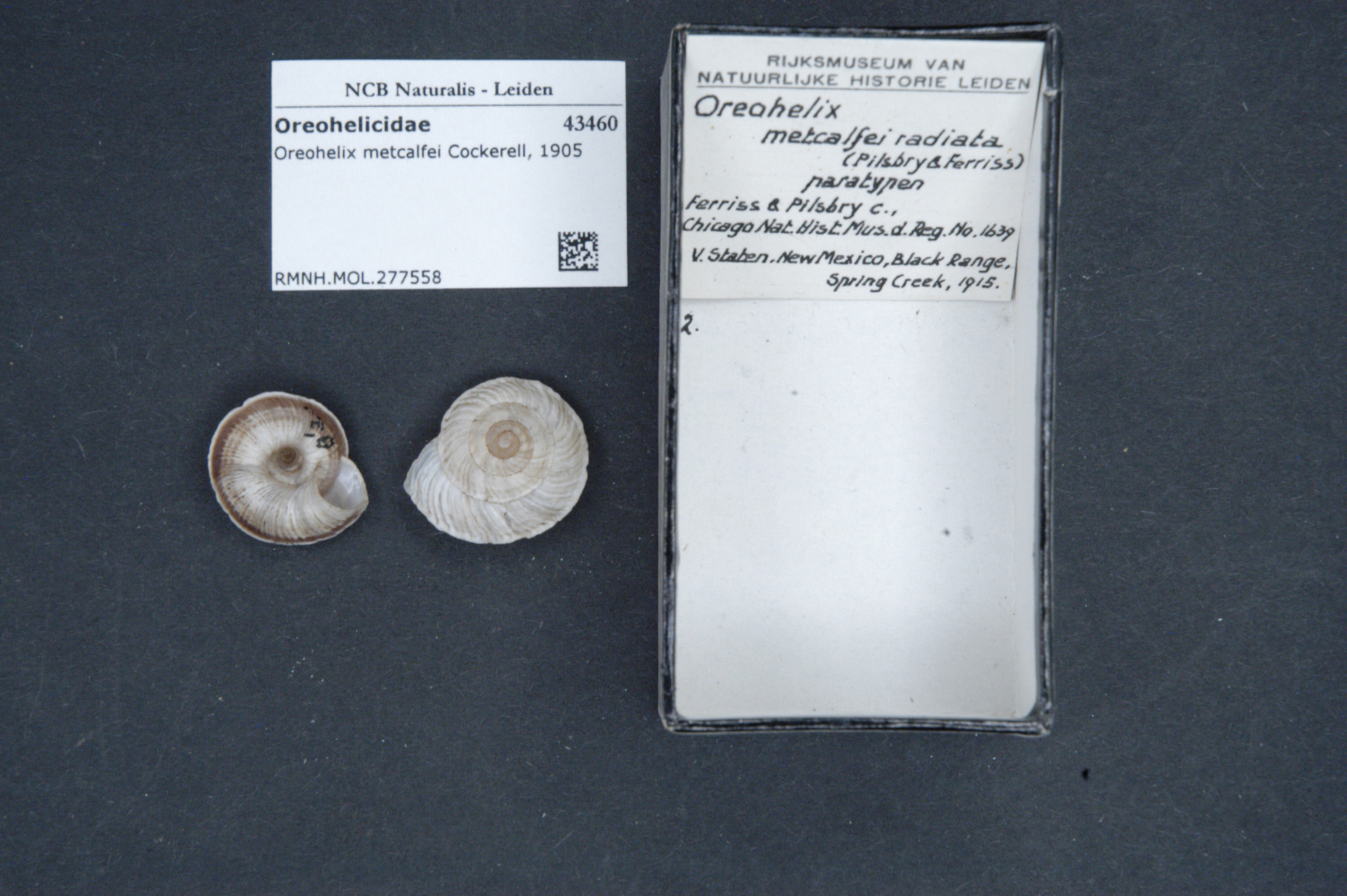 RMNH.MOL.277558 | Oreohelix metcalfei radiata Pilsbry & Ferriss, 1917