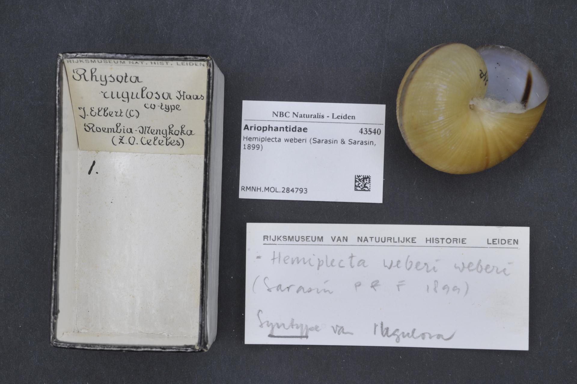 RMNH.MOL.284793 | Hemiplecta (Rhysota) rugulosa Haas, 1912