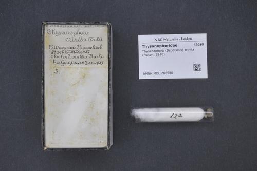 Setidiscus crinitus image
