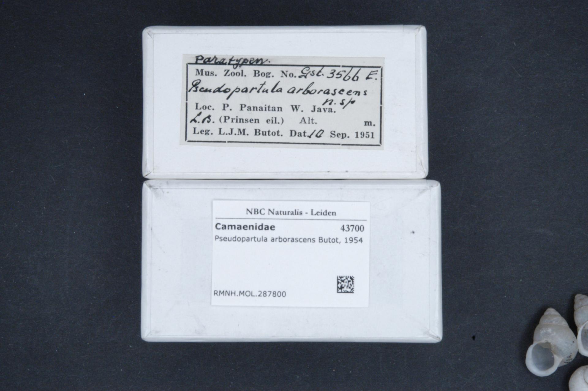 RMNH.MOL.287800 | Pseudopartula arborescens Butot, 1955