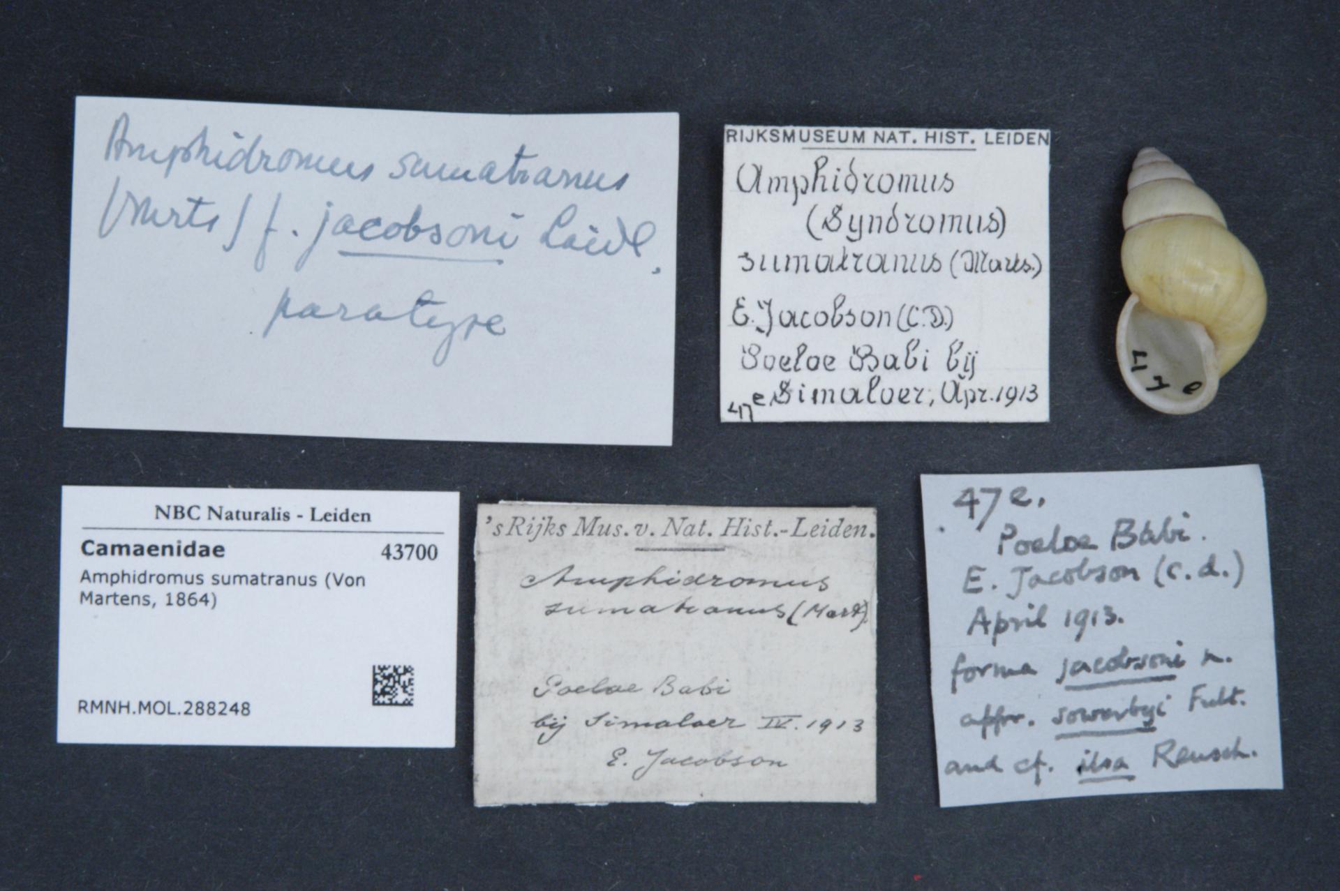 RMNH.MOL.288248 | Amphidromus sumatranus jacobsoni Laidlaw, 1954