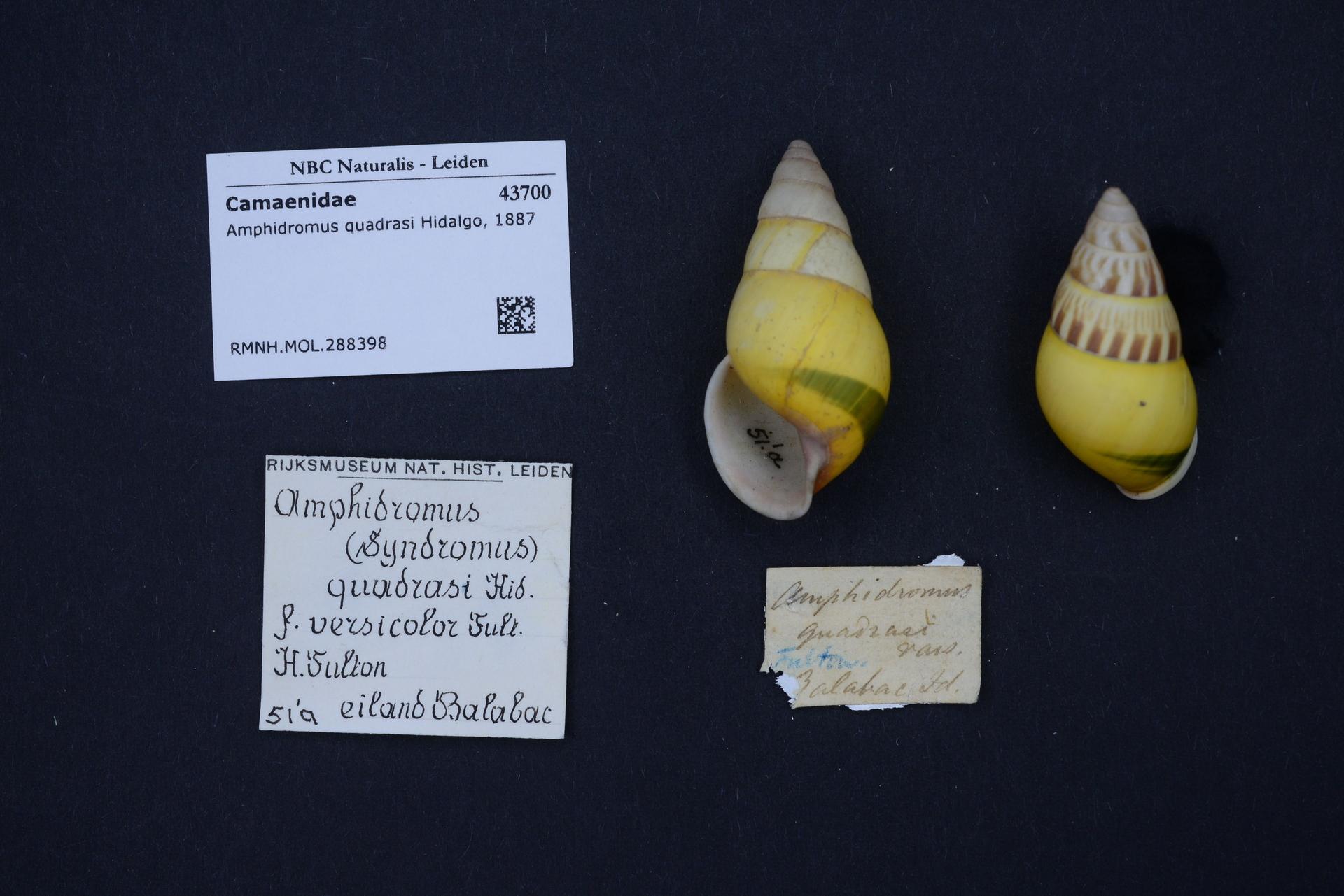 RMNH.MOL.288398 | Amphidromus quadrasi Hidalgo, 1887