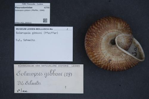 Solaropsis gibboni image