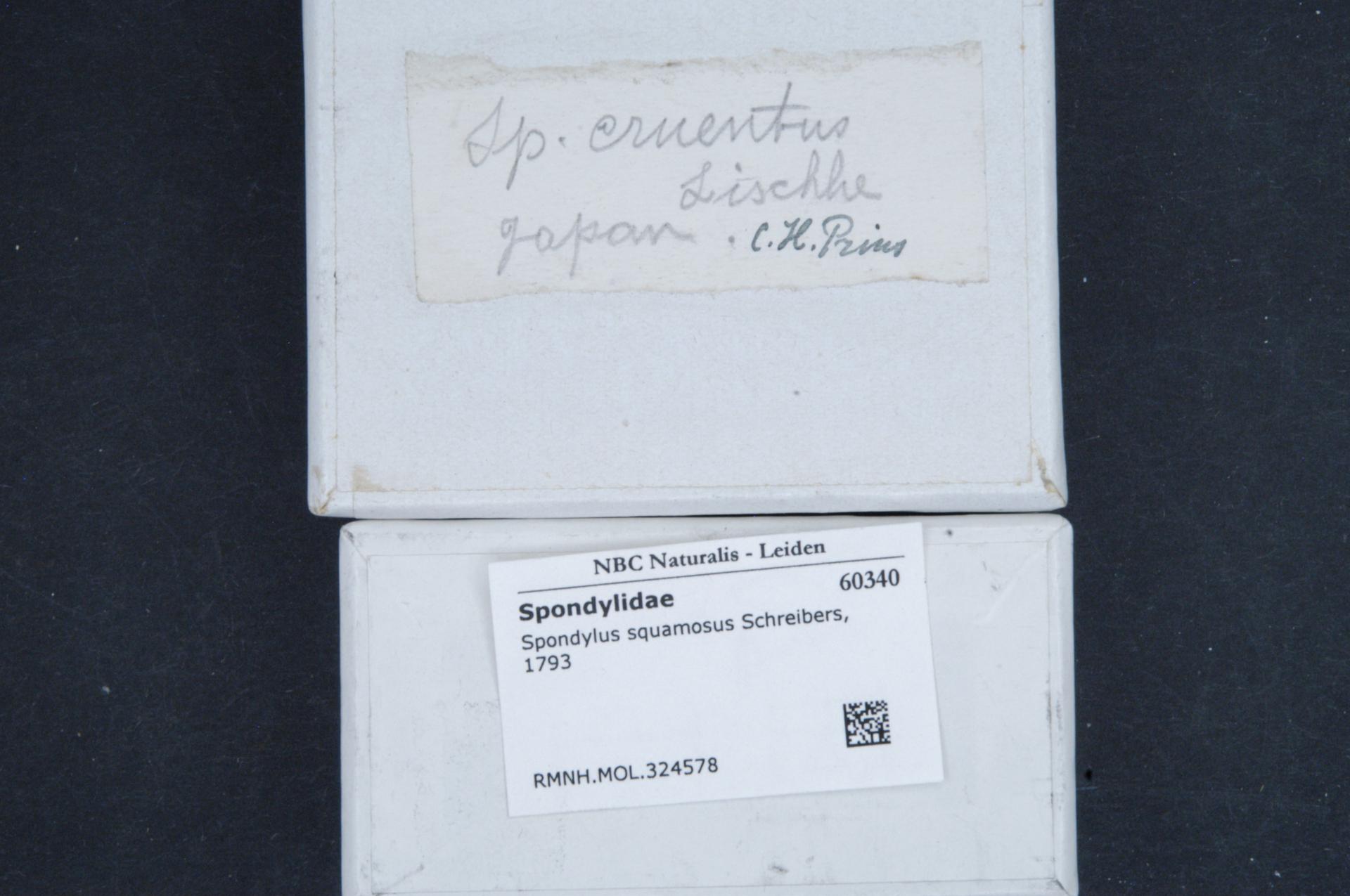 RMNH.MOL.324578 | Spondylus squamosus Schreibers, 1793