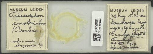 Trissexodon constrictus image