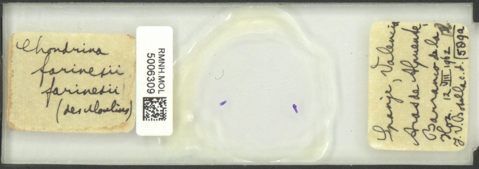 RMNH.MOL.5006309   Chondrina farinesii (Des Moulins, 1835)
