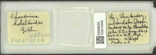 Chondrina kobeltoides image