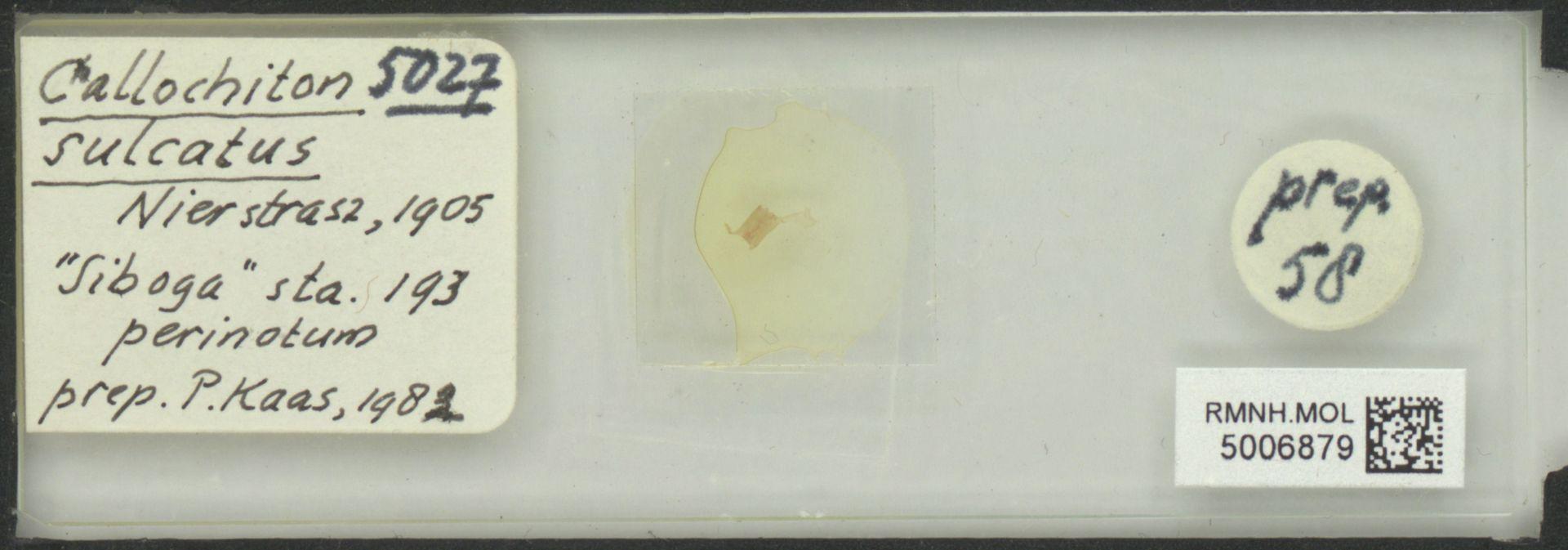 RMNH.MOL.5006879   Callochiton (Callochiton) sulcatus Nierstrasz, 1905