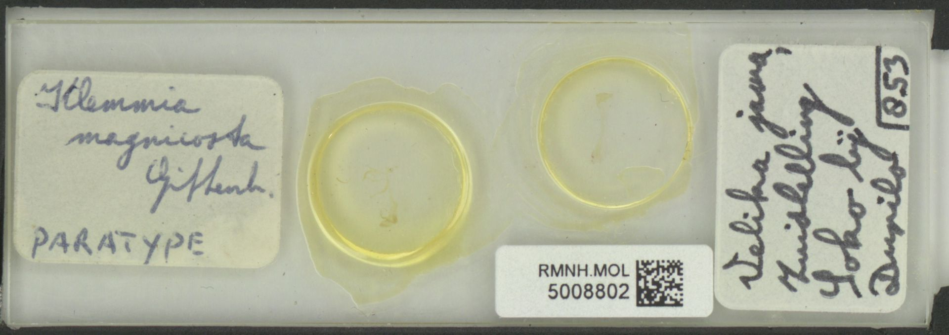 RMNH.MOL.5008802 | Klemmia magnicosta Gittenberger, 1975