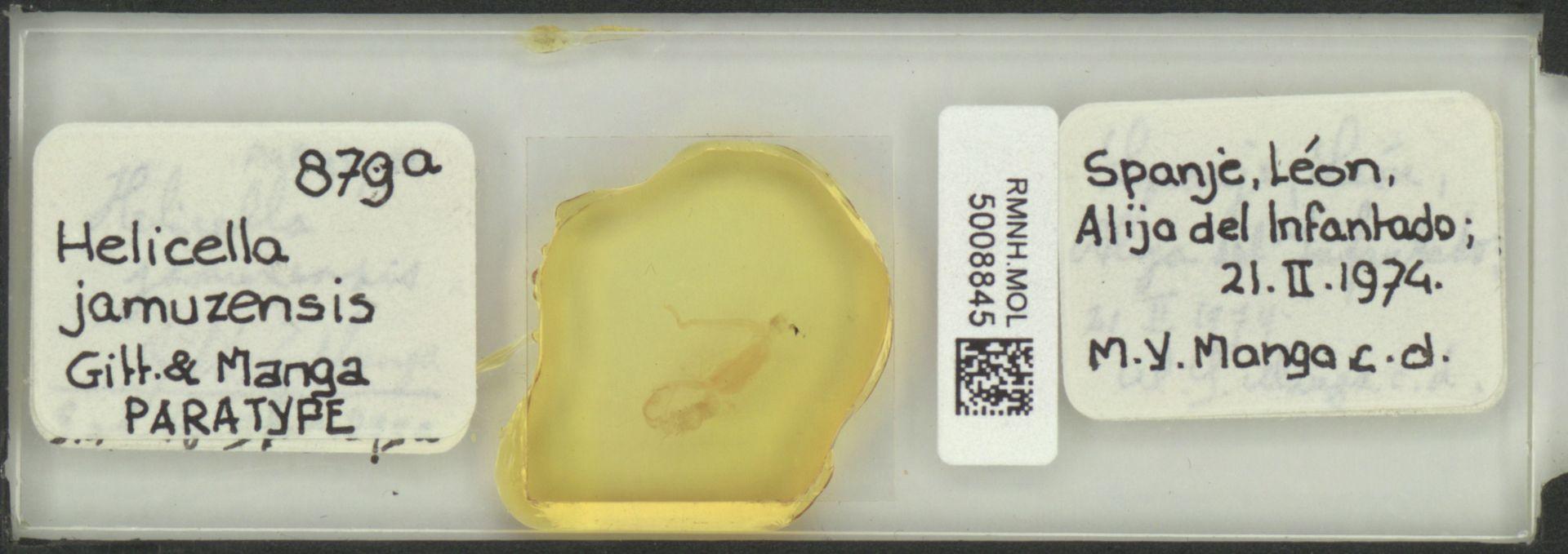 RMNH.MOL.5008845 | Helicella jamuzensis Gittenberger & Manga, 1977