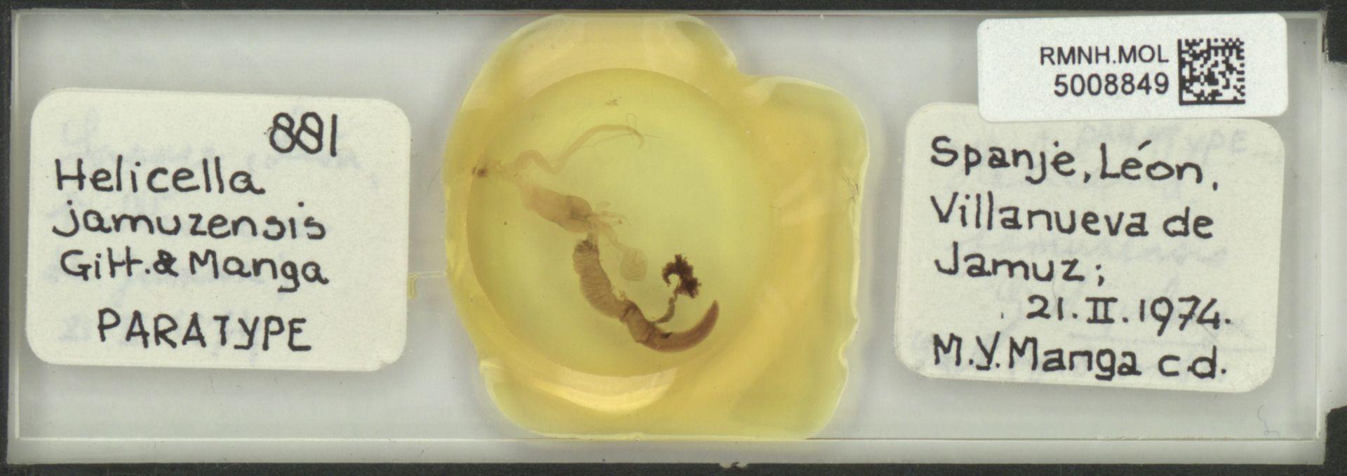 RMNH.MOL.5008849 | Helicella jamuzensis Gittenberger & Manga, 1977