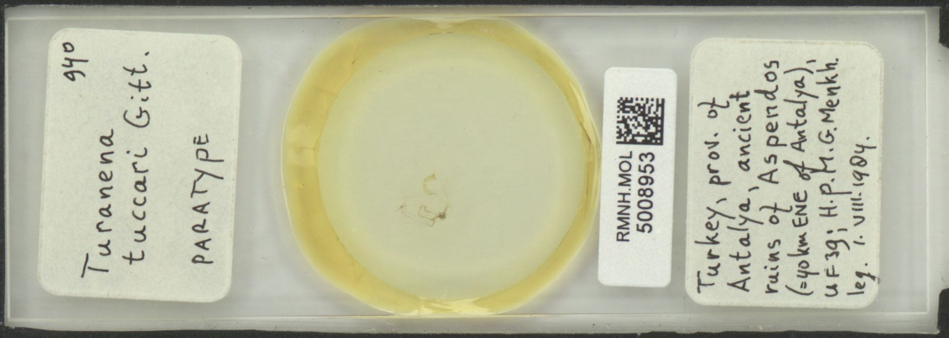 RMNH.MOL.5008953 | Turanena tuccari Gittenberger, 1986