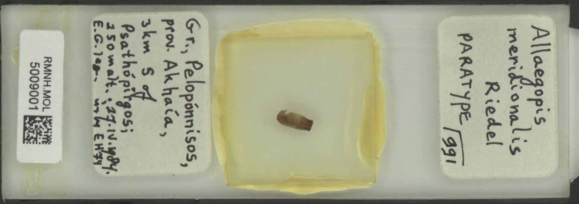 RMNH.MOL.5009001 | Allaegopis meridionalis Riedel, 1986