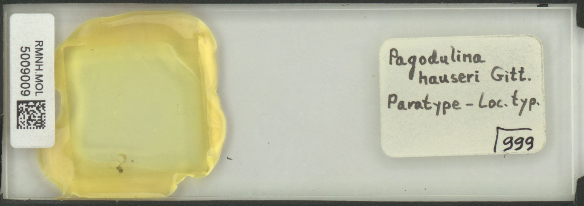 RMNH.MOL.5009009 | Pagodulina hauseri Gittenberger, 1978