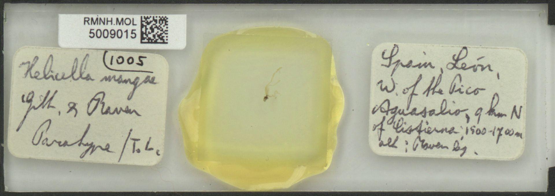 RMNH.MOL.5009015 | Helicella mangae Gittenberger & Raven, 1982