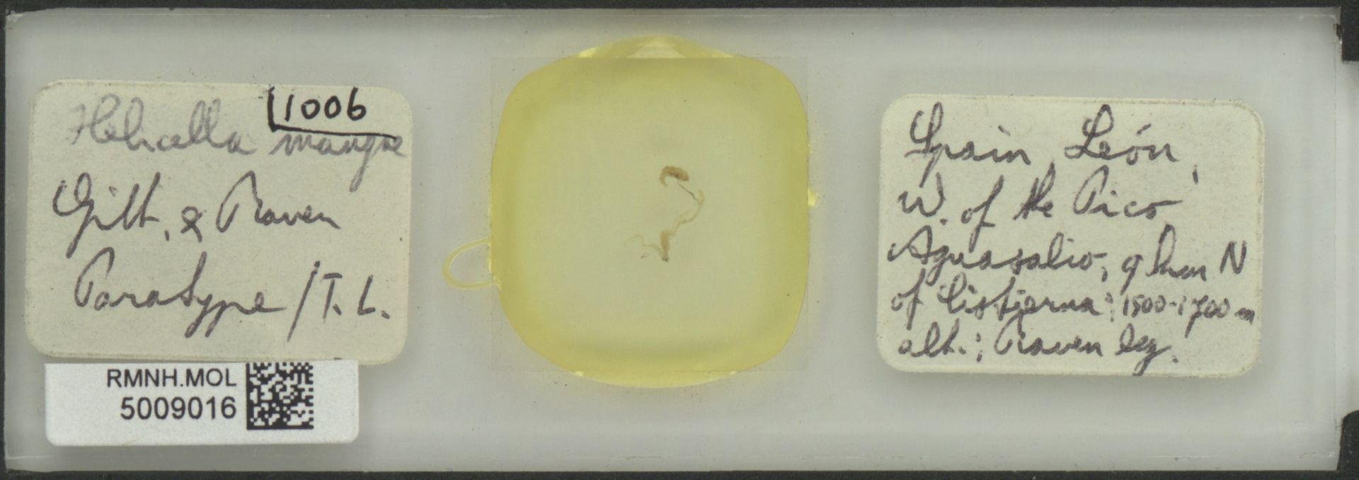 RMNH.MOL.5009016 | Helicella mangae Gittenberger & Raven, 1982