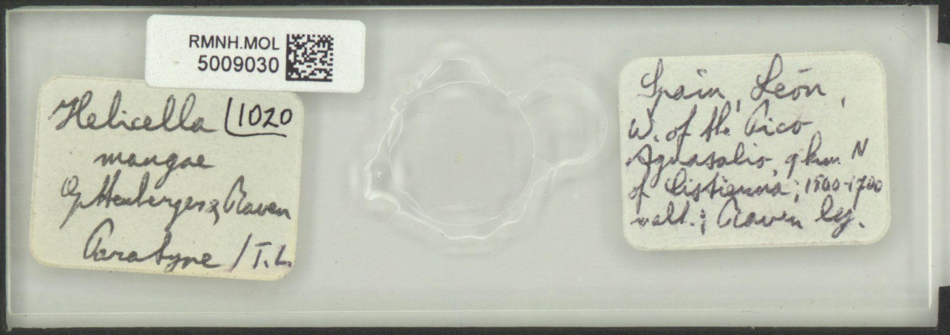 RMNH.MOL.5009030 | Helicella mangae Gittenberger & Raven, 1982