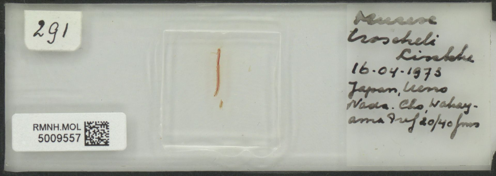 RMNH.MOL.5009557 | Murex troscheli Lischke, 1868