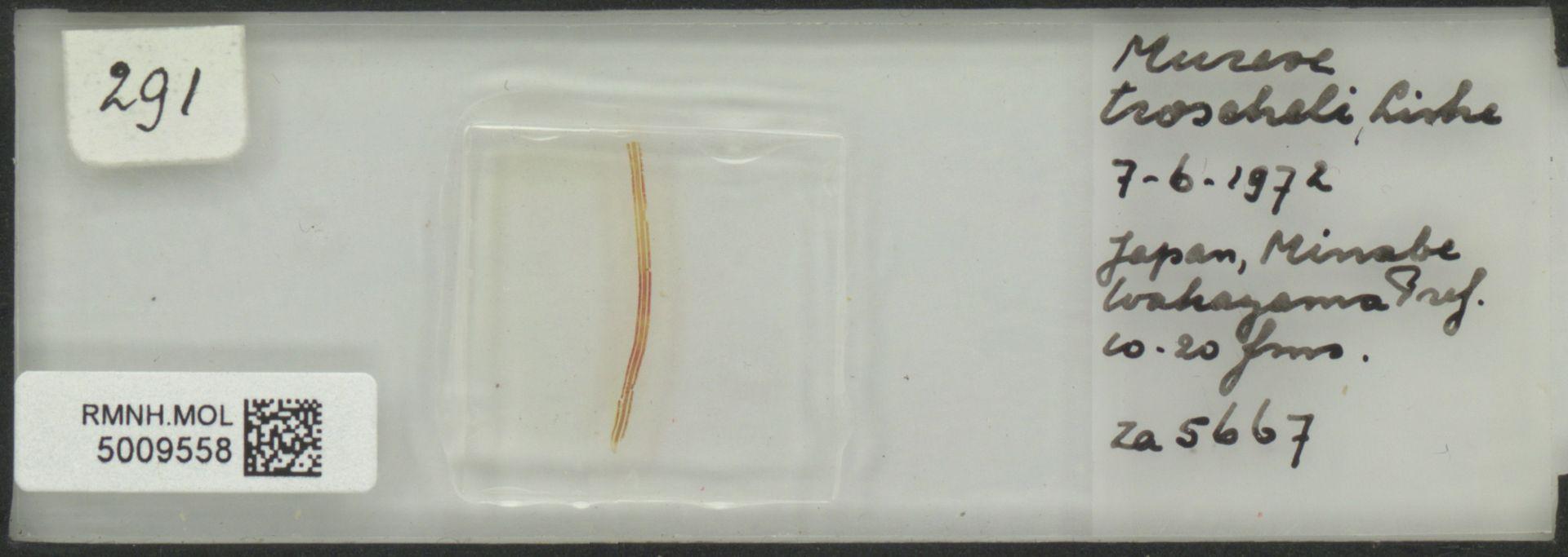RMNH.MOL.5009558   Murex troscheli Lischke, 1868