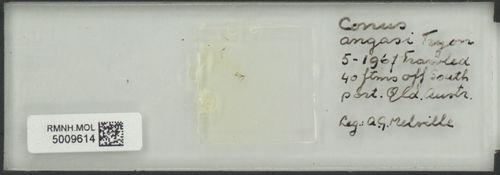 Conus angasi image