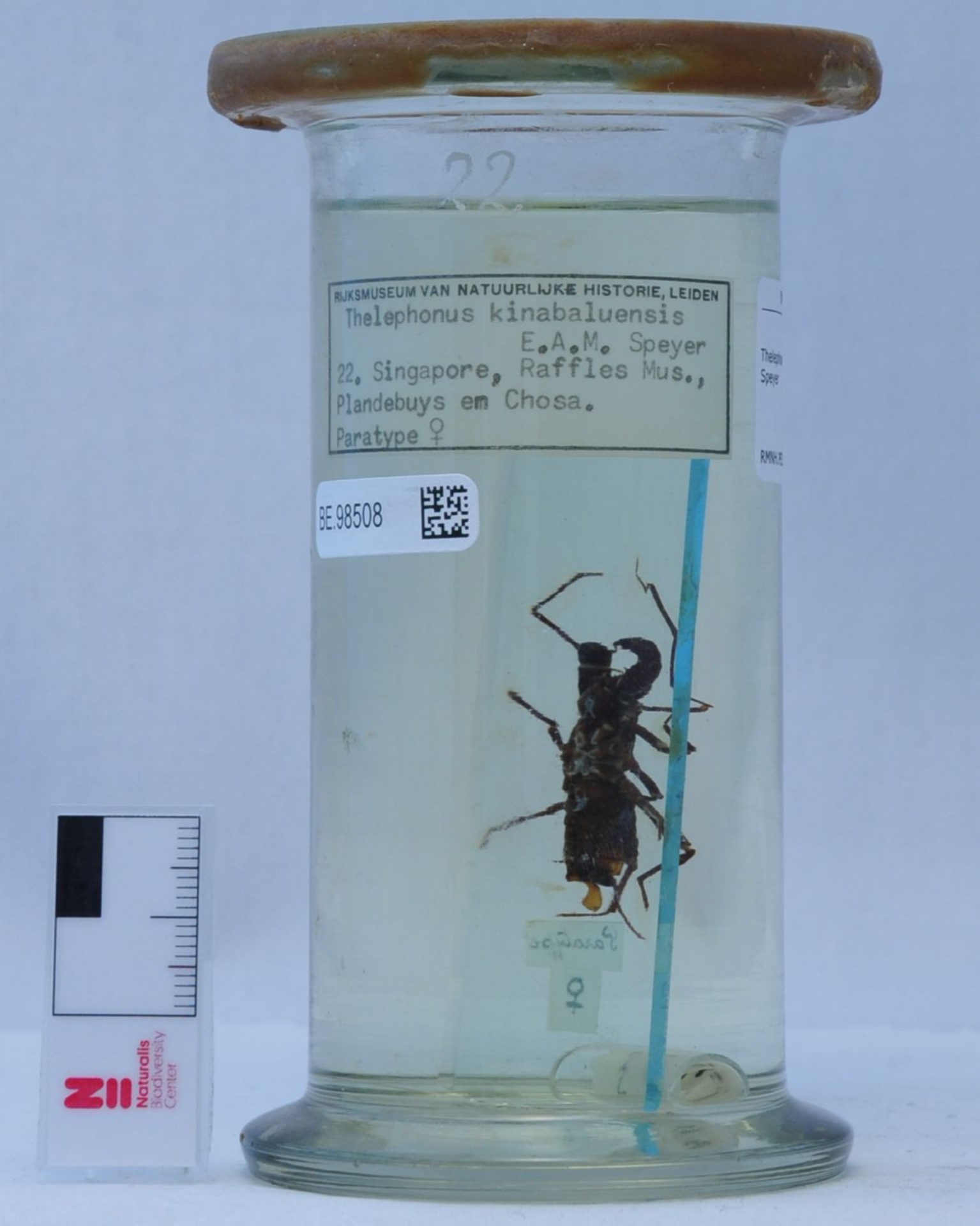 RMNH.PED.22 | Thelephones kinabaluensis E.A.M. Speyer