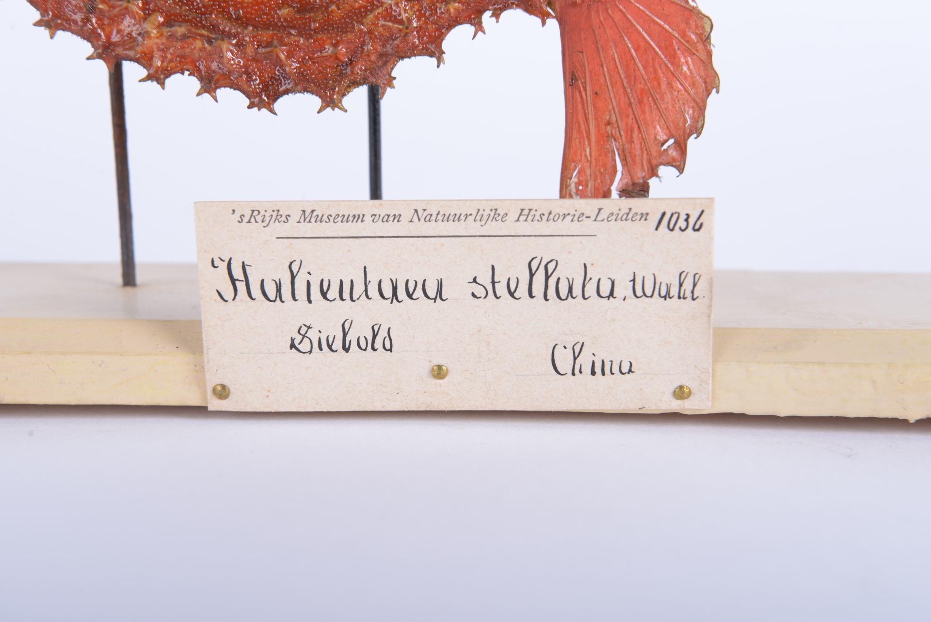 RMNH.PISC.D.1036 | Halicutaea stellata (Vahl 1797)