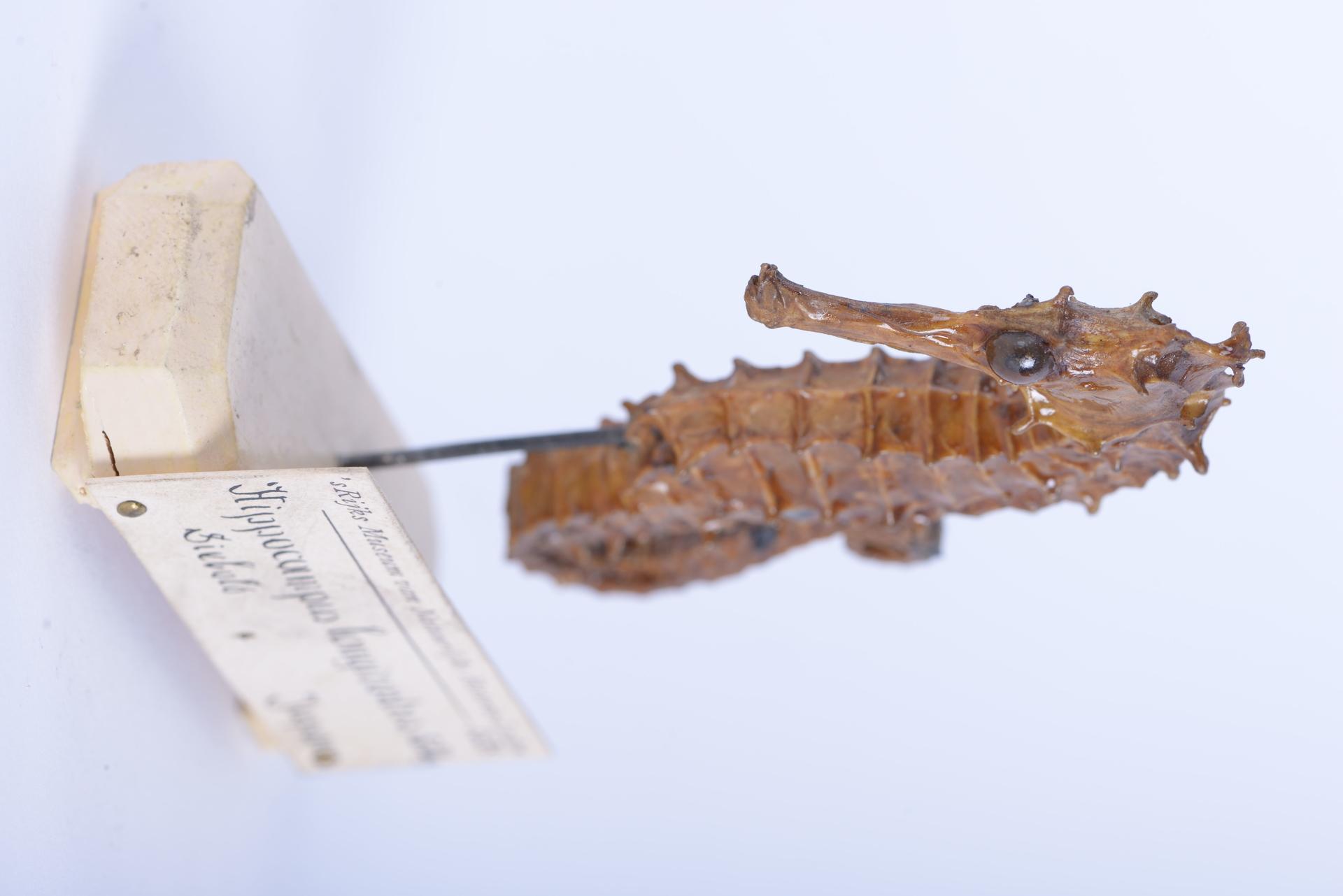 RMNH.PISC.D.1534 | Hippocampus longirostris Schinz, 1822