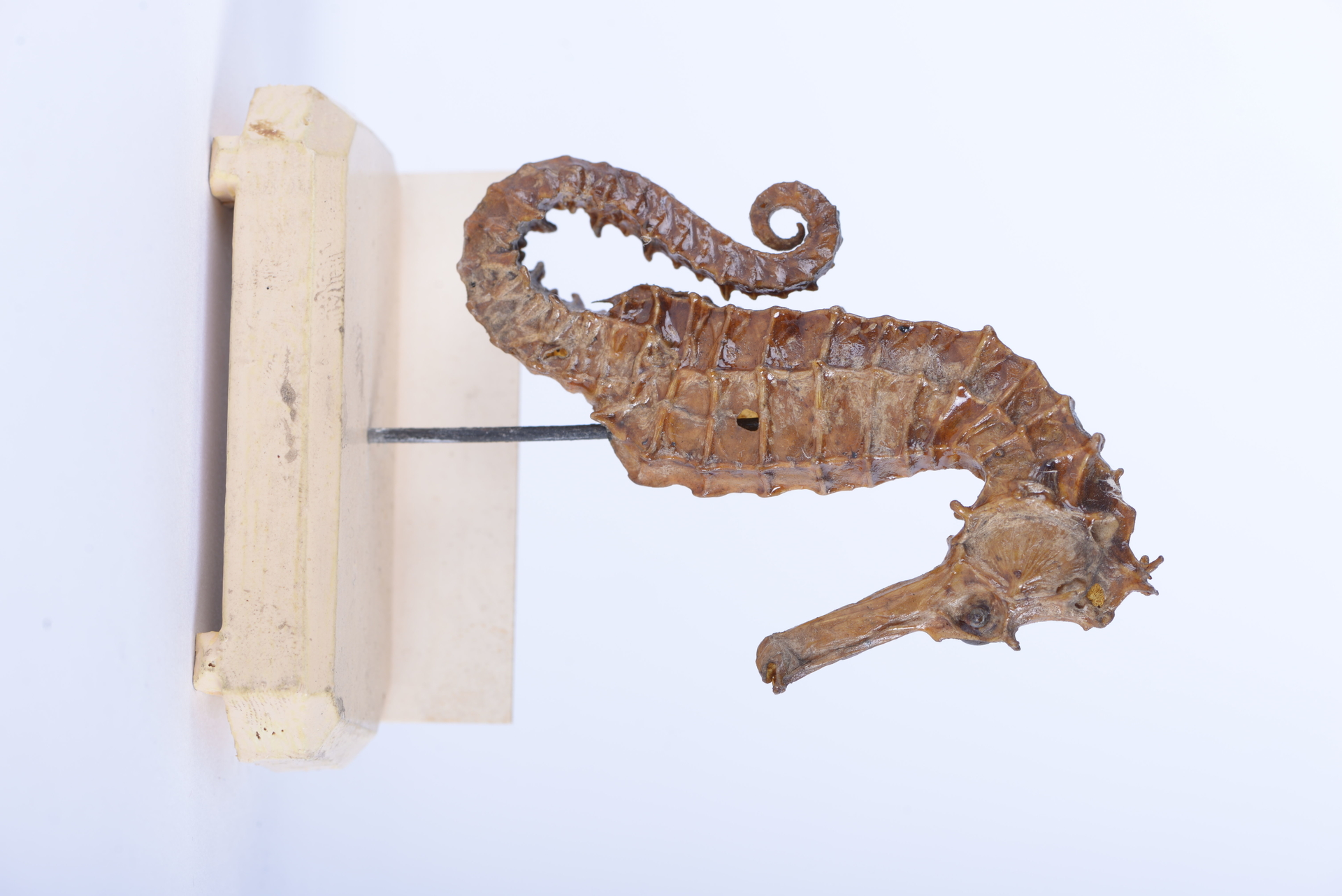 RMNH.PISC.D.1534   Hippocampus longirostris Schinz, 1822