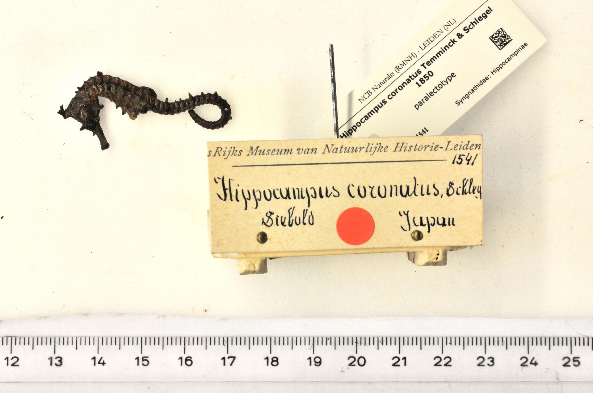 RMNH.PISC.D.1541 | Hippocampus coronatus Temminck & Schlegel 1850