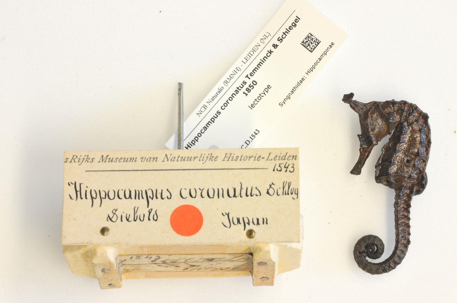 RMNH.PISC.D.1543 | Hippocampus coronatus Temminck & Schlegel 1850