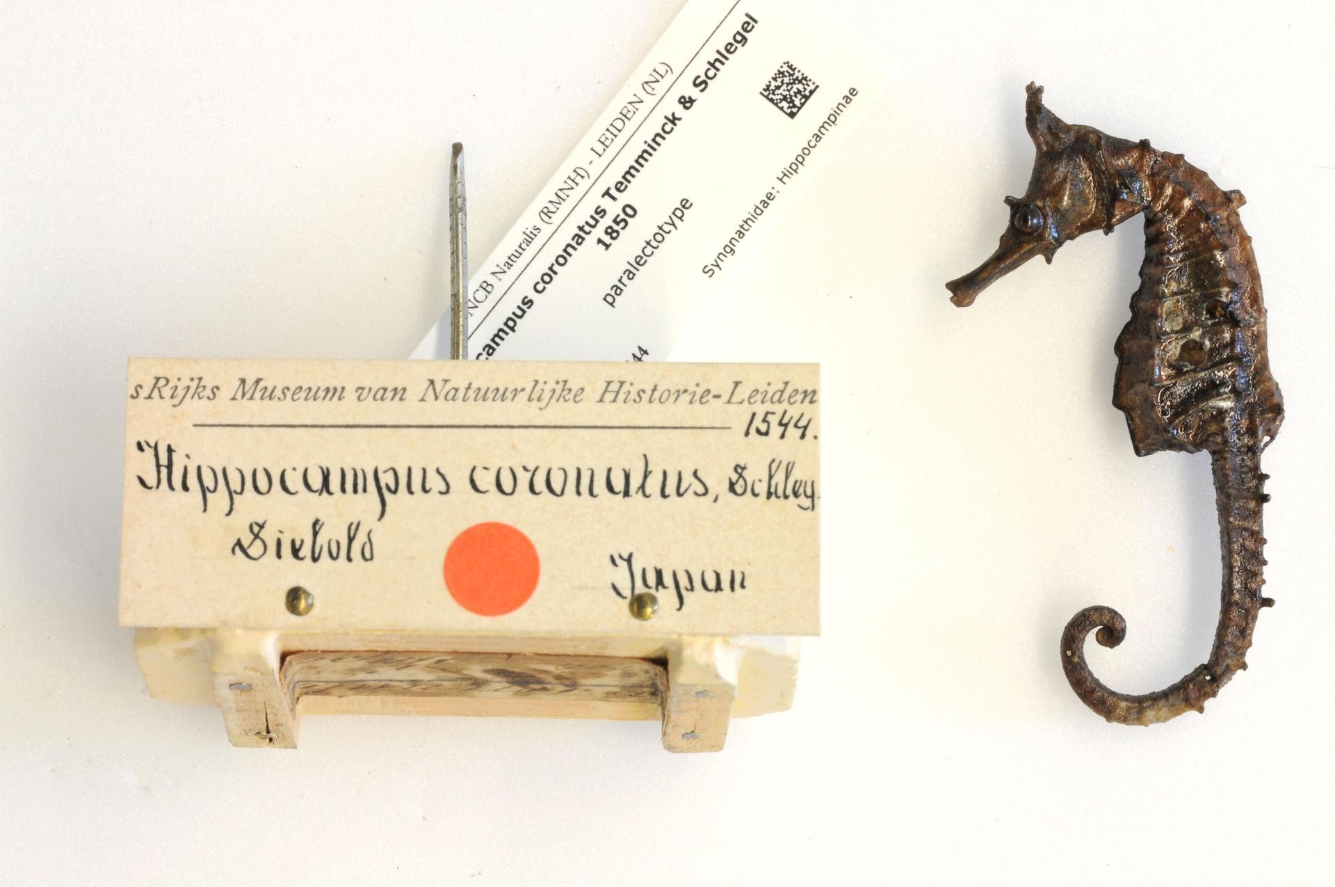 RMNH.PISC.D.1544 | Hippocampus coronatus Temminck & Schlegel 1850