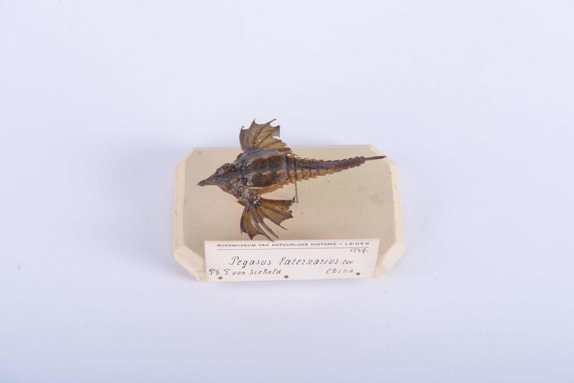 RMNH.PISC.D.1549   Pegasus laternarius Cuvier, 1816