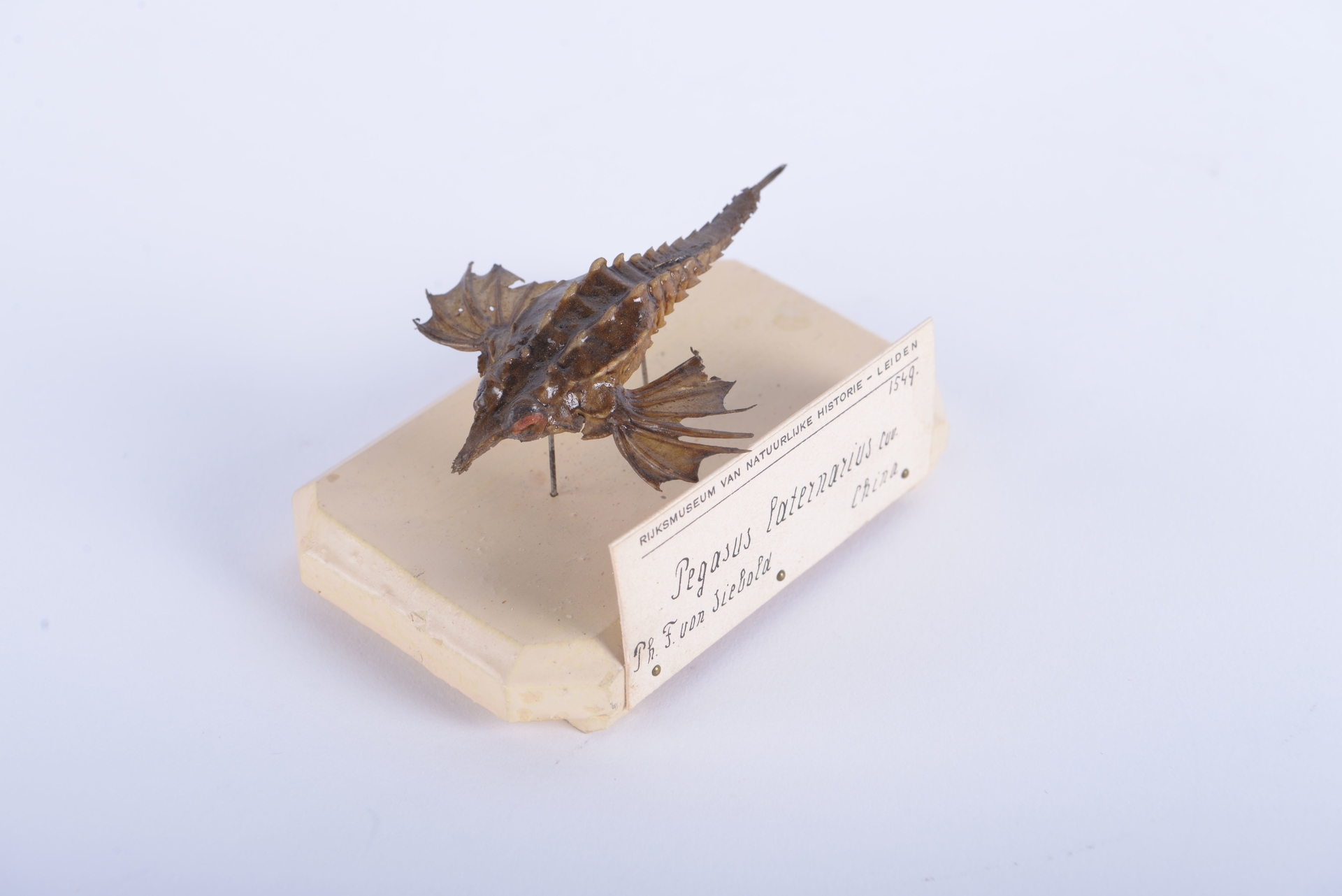 RMNH.PISC.D.1549 | Pegasus laternarius Cuvier, 1816