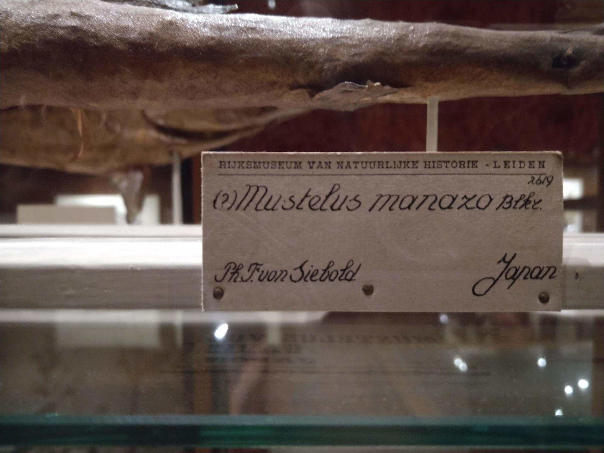 RMNH.PISC.D.2619 | Mustelus vulgaris