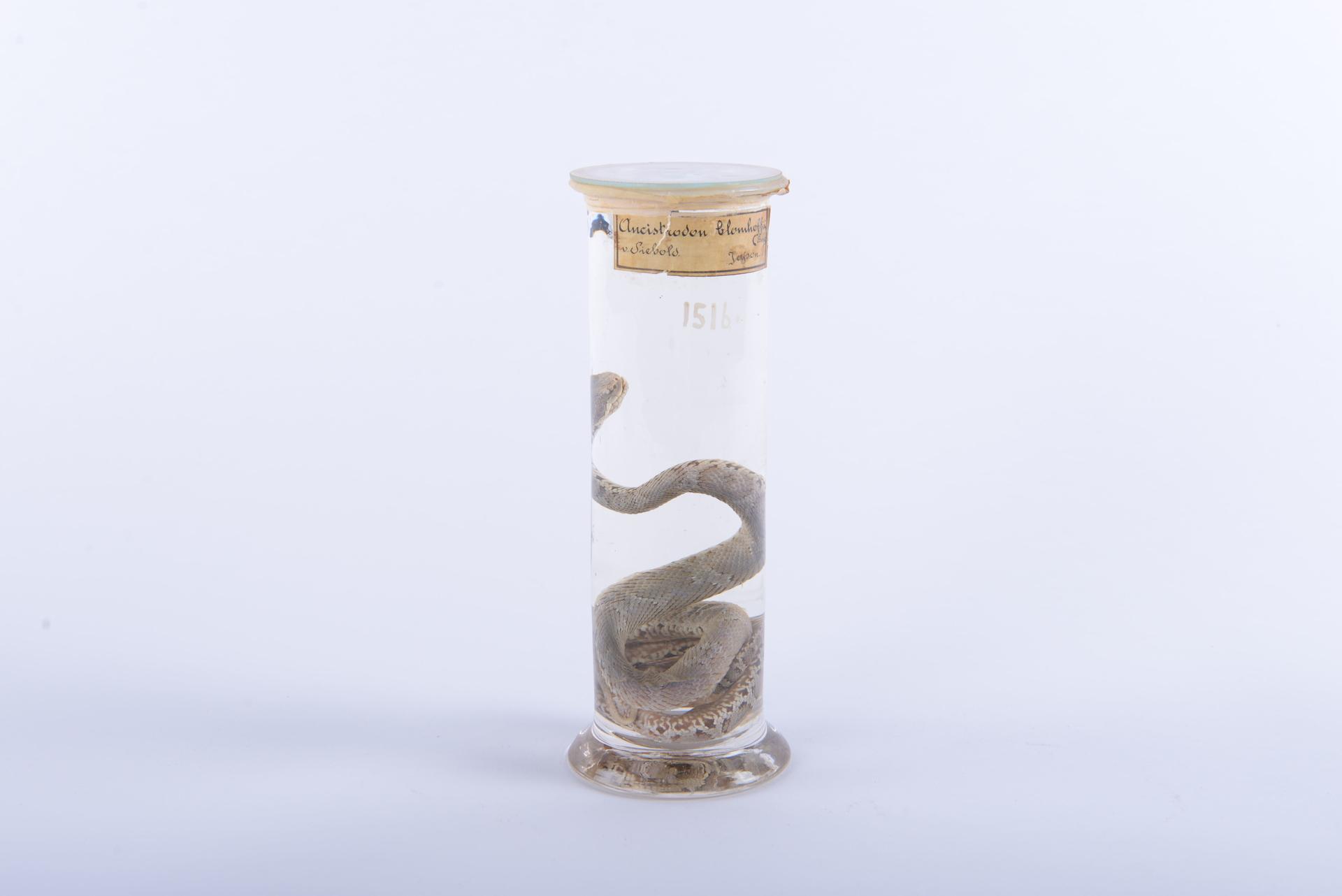 RMNH.RENA.1516 | Gloydius blomhoffii (Boie, 1826)