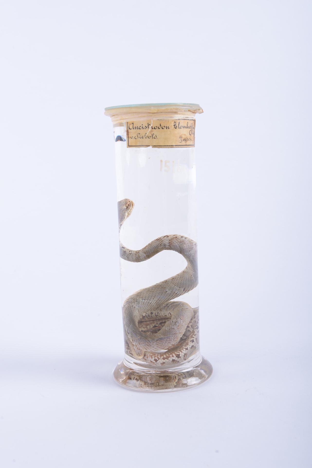 RMNH.RENA.1516 | Gloydius blomhoffii Boie, 1826
