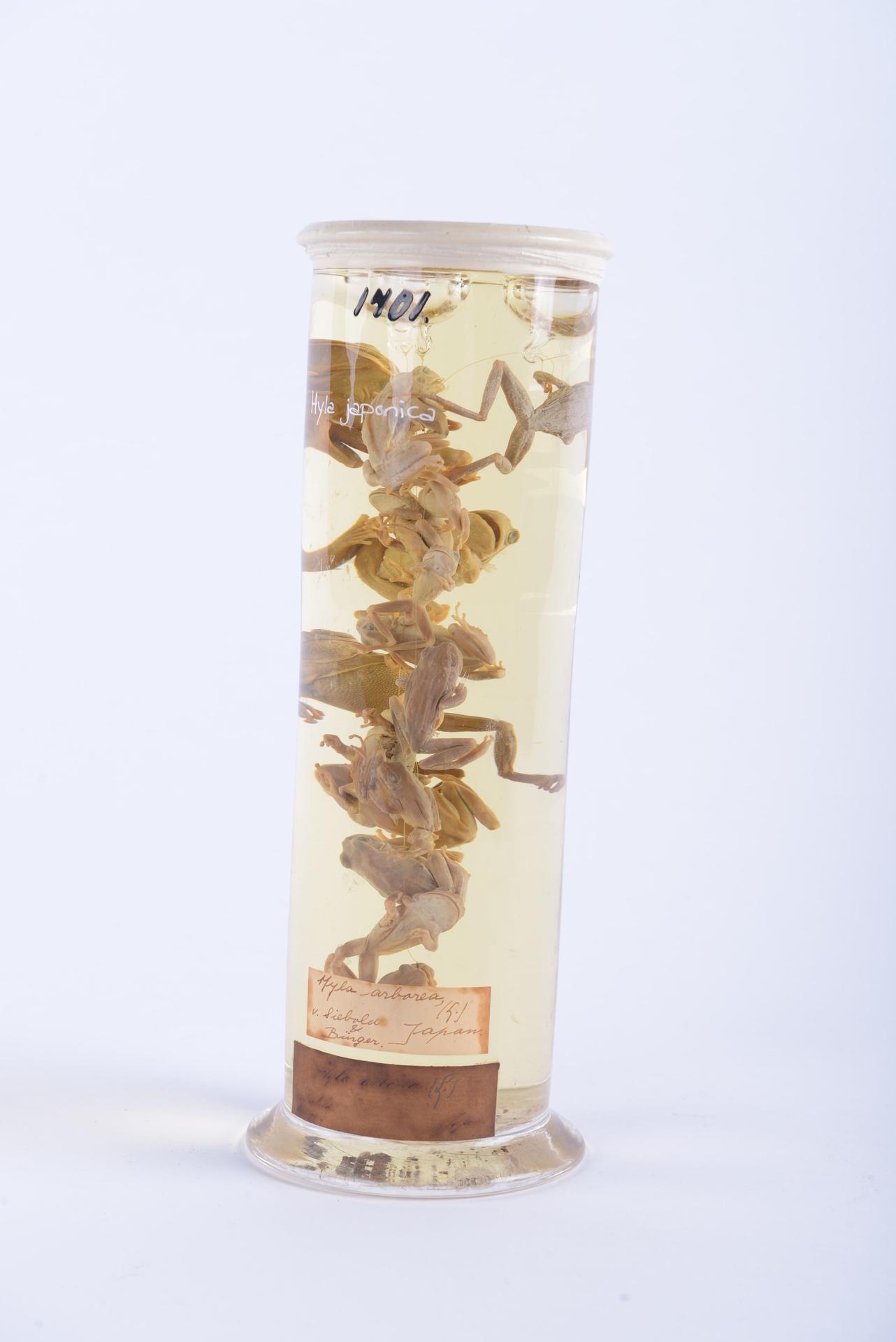 RMNH.RENA.1701 | Hyla japonica Günther, 1859