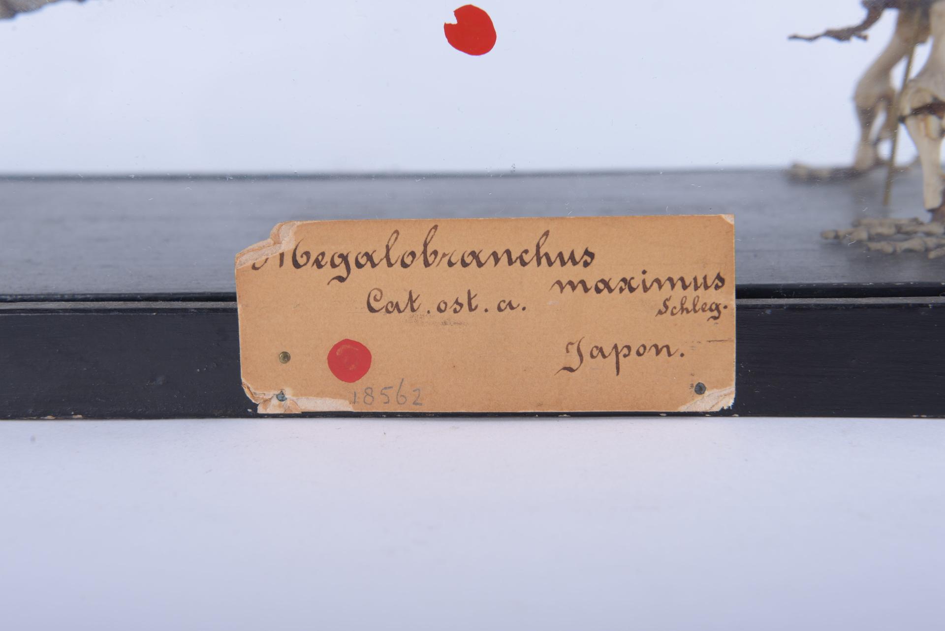 RMNH.RENA.18562 | Andrias japonicus (Temminck, 1836)