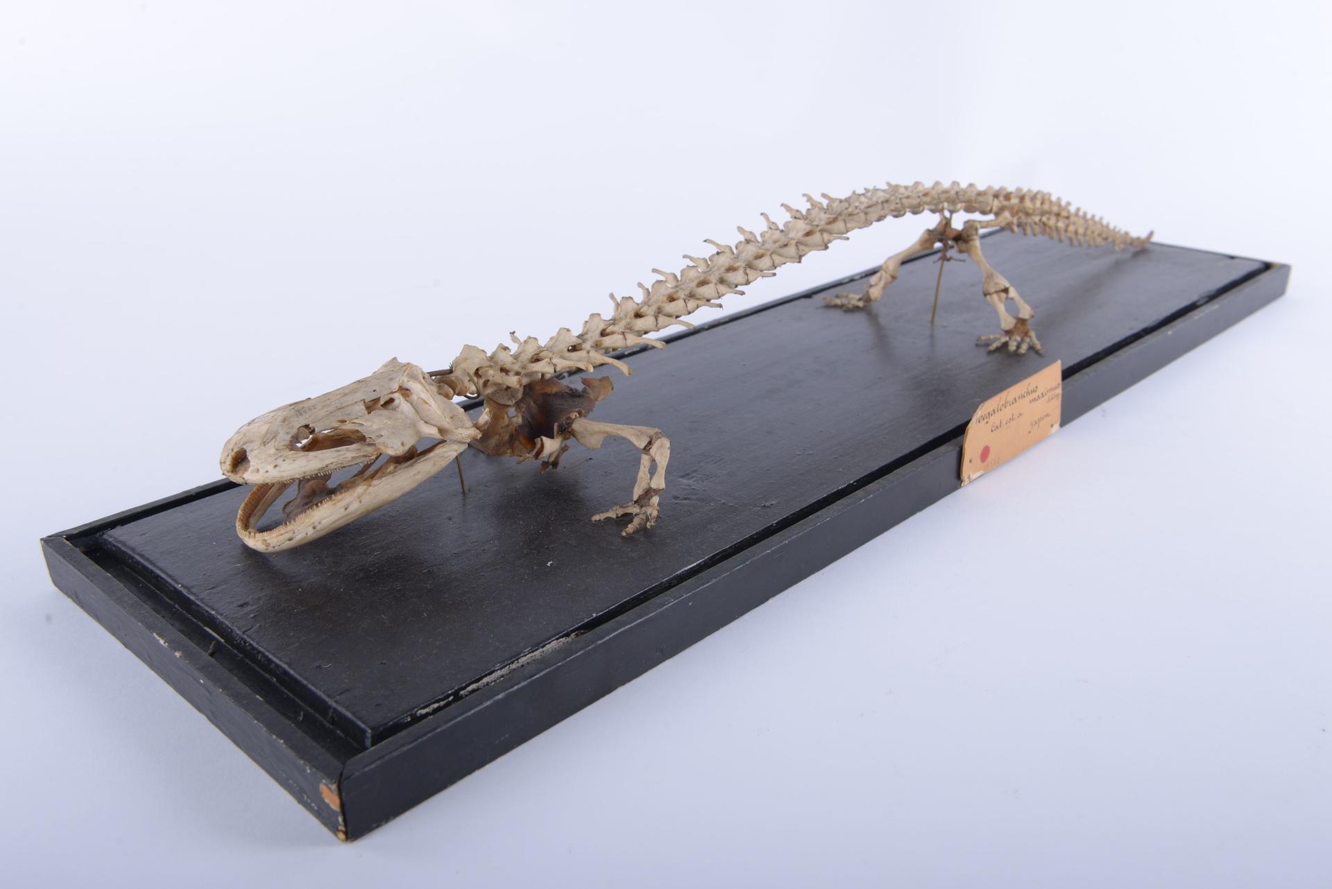 RMNH.RENA.18562 | Andrias japonicus Temminck, 1836