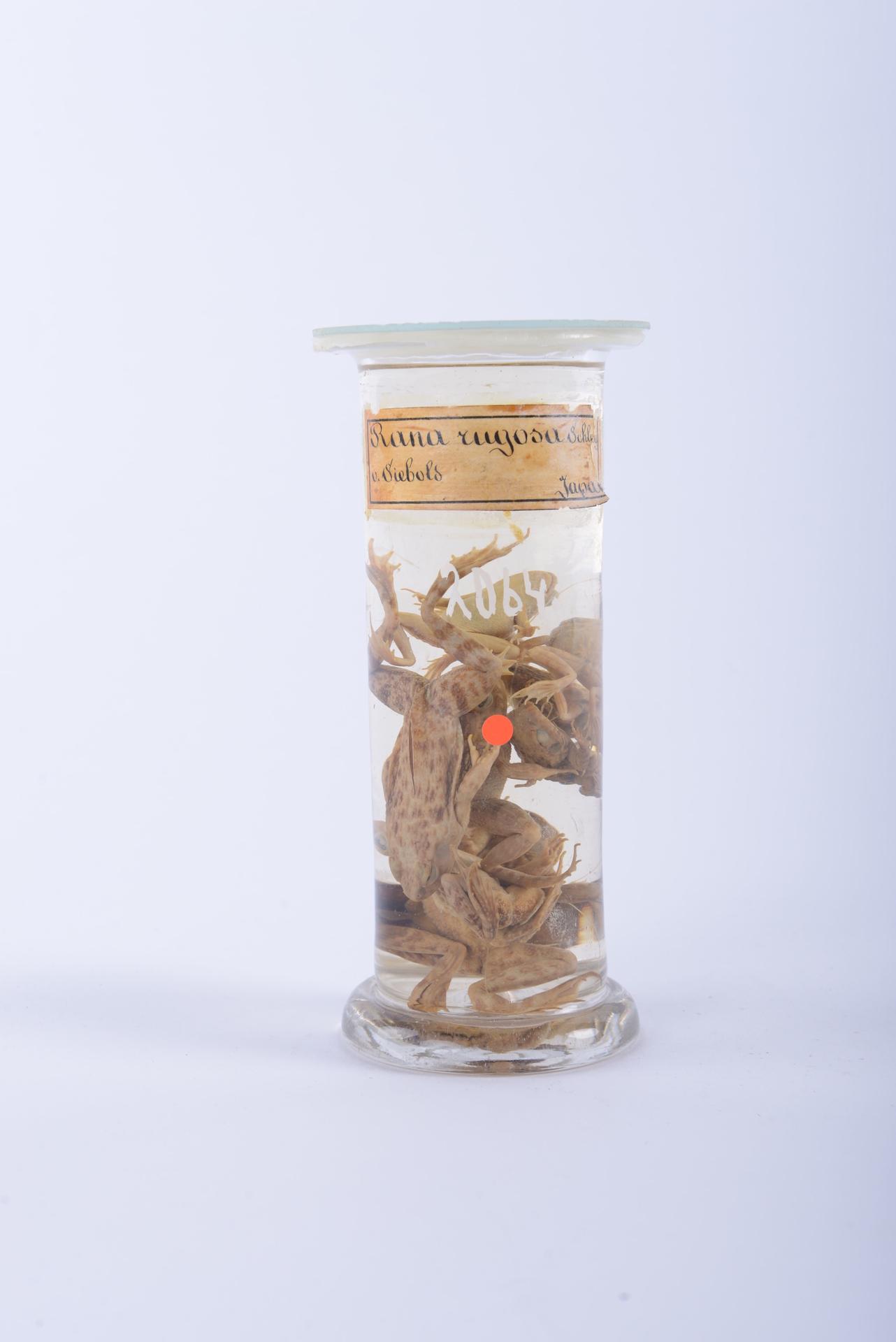 RMNH.RENA.2064 | Rana rugosa Temminck & Schlegel, 1838