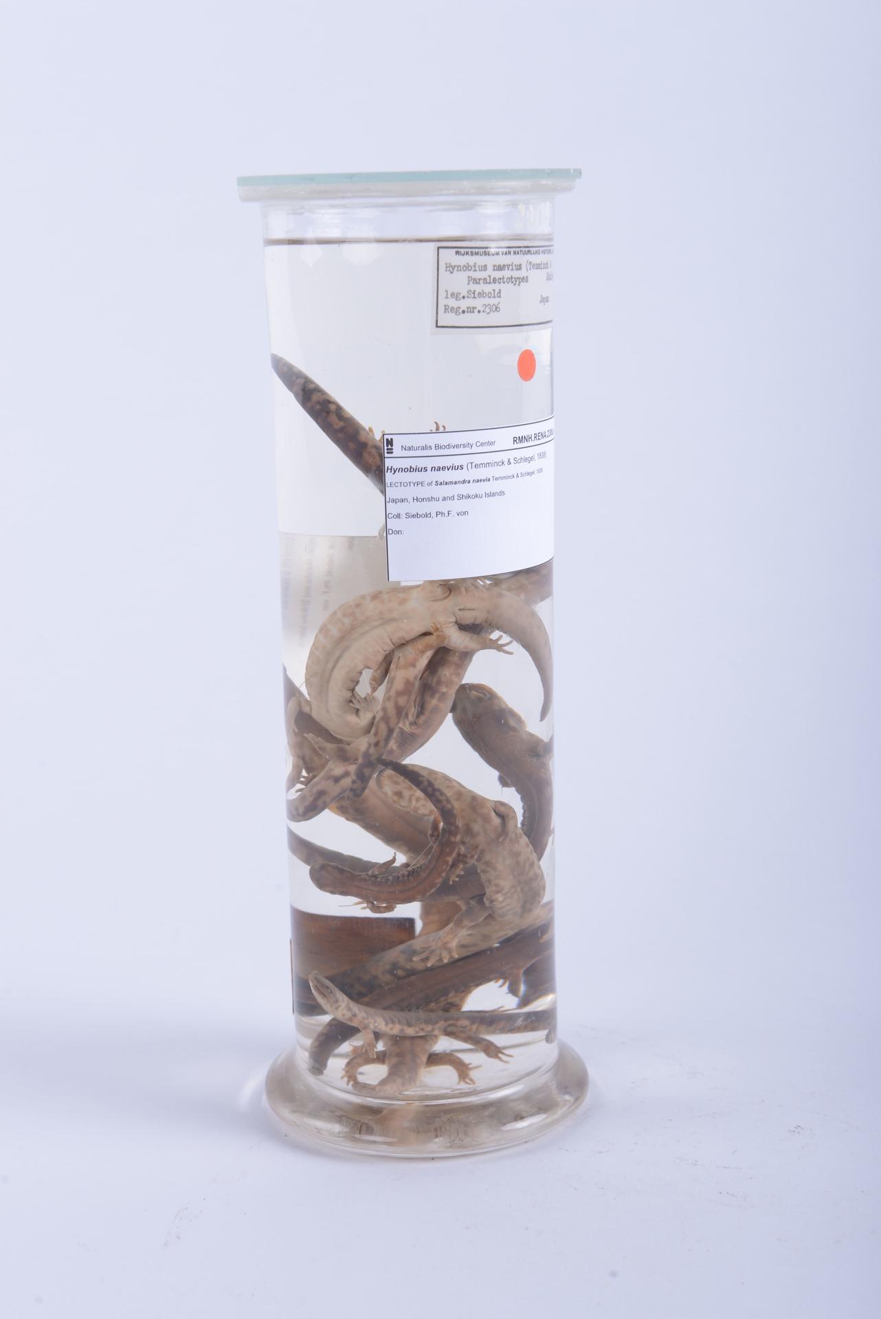 RMNH.RENA.2306.a | Hynobius naevius (Temminck & Schlegel, 1838)