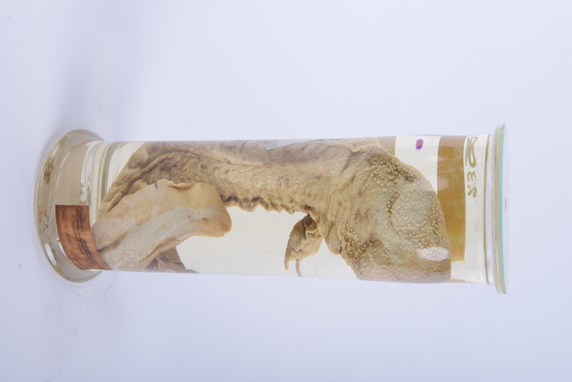 RMNH.RENA.2394 | Andrias japonicus (Temminck, 1836)