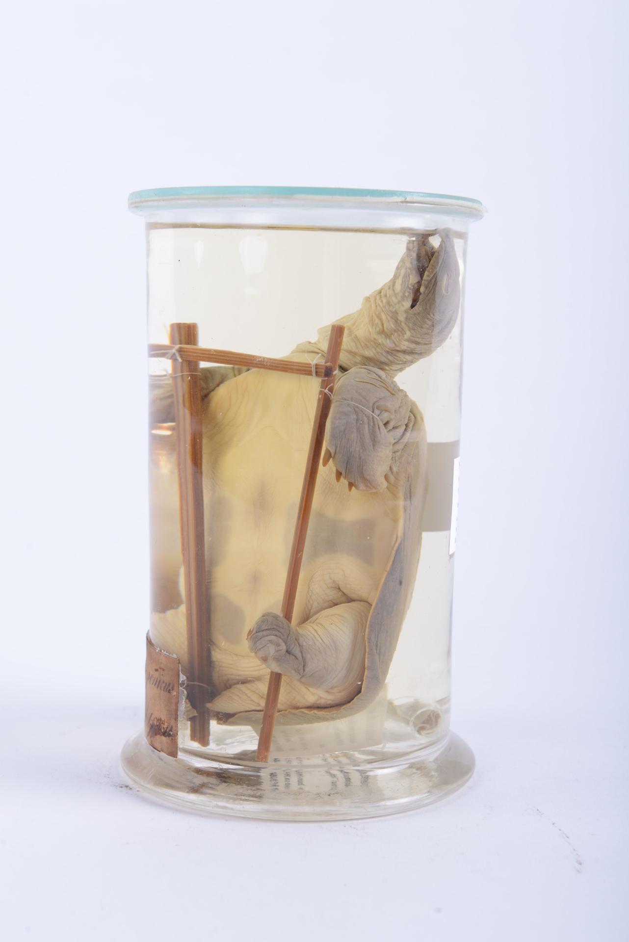 RMNH.RENA.3264 | Pelodiscus sinensis (Wiegmann, 1834)