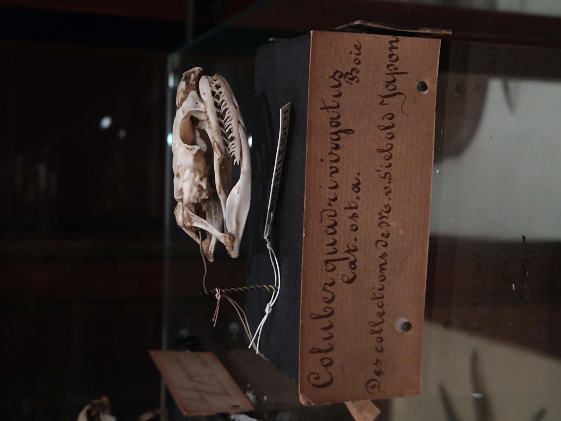 RMNH.RENA.37320   Elaphe quadrivirgata (Boie, 1826)
