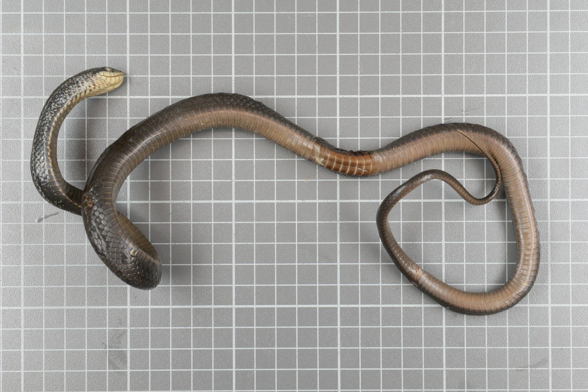 RMNH.RENA.394   Elaphe quadrivirgata (Boie, 1826)