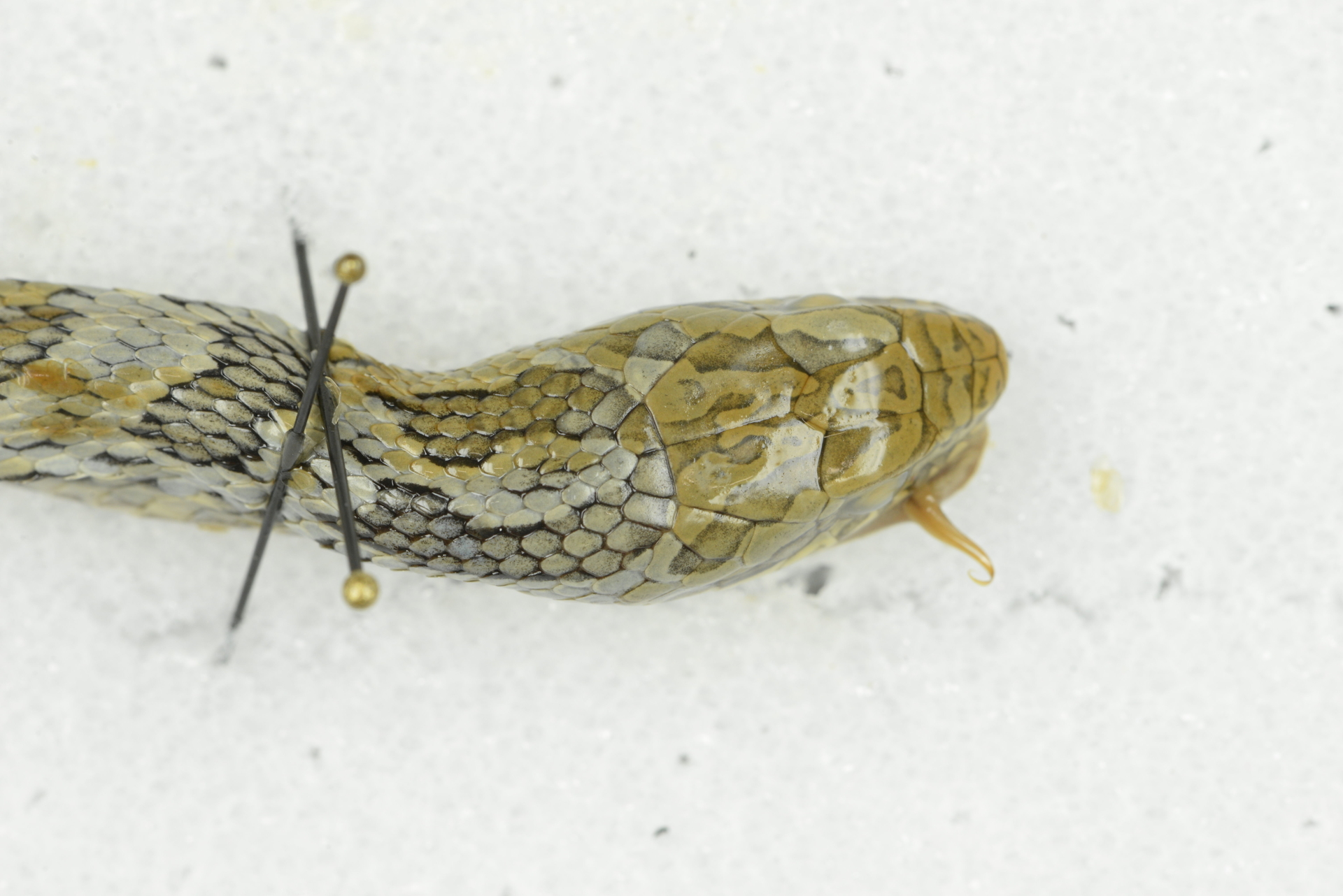 RMNH.RENA.394 | Elaphe quadrivirgata (Boie, 1826)